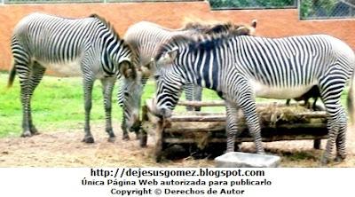 Foto de cebras en plena comida en el Parque de las Leyendas por Jesus Gómez