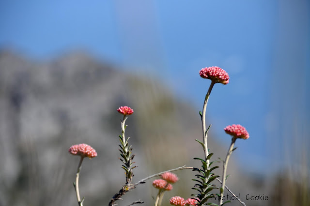 pink flowers on top of a mountain