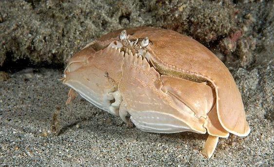 Kepiting Pemalu - Calappa Granulata