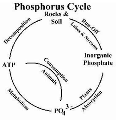Plant life phosphorus cycle for Soil life cycle