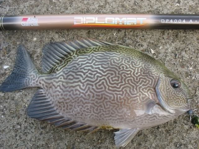 Jenis Ikan Baronang BATIK