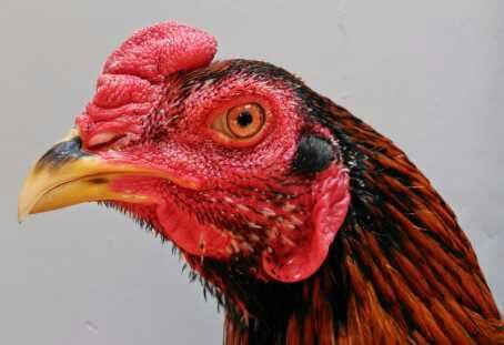 Ayam bangkok congek