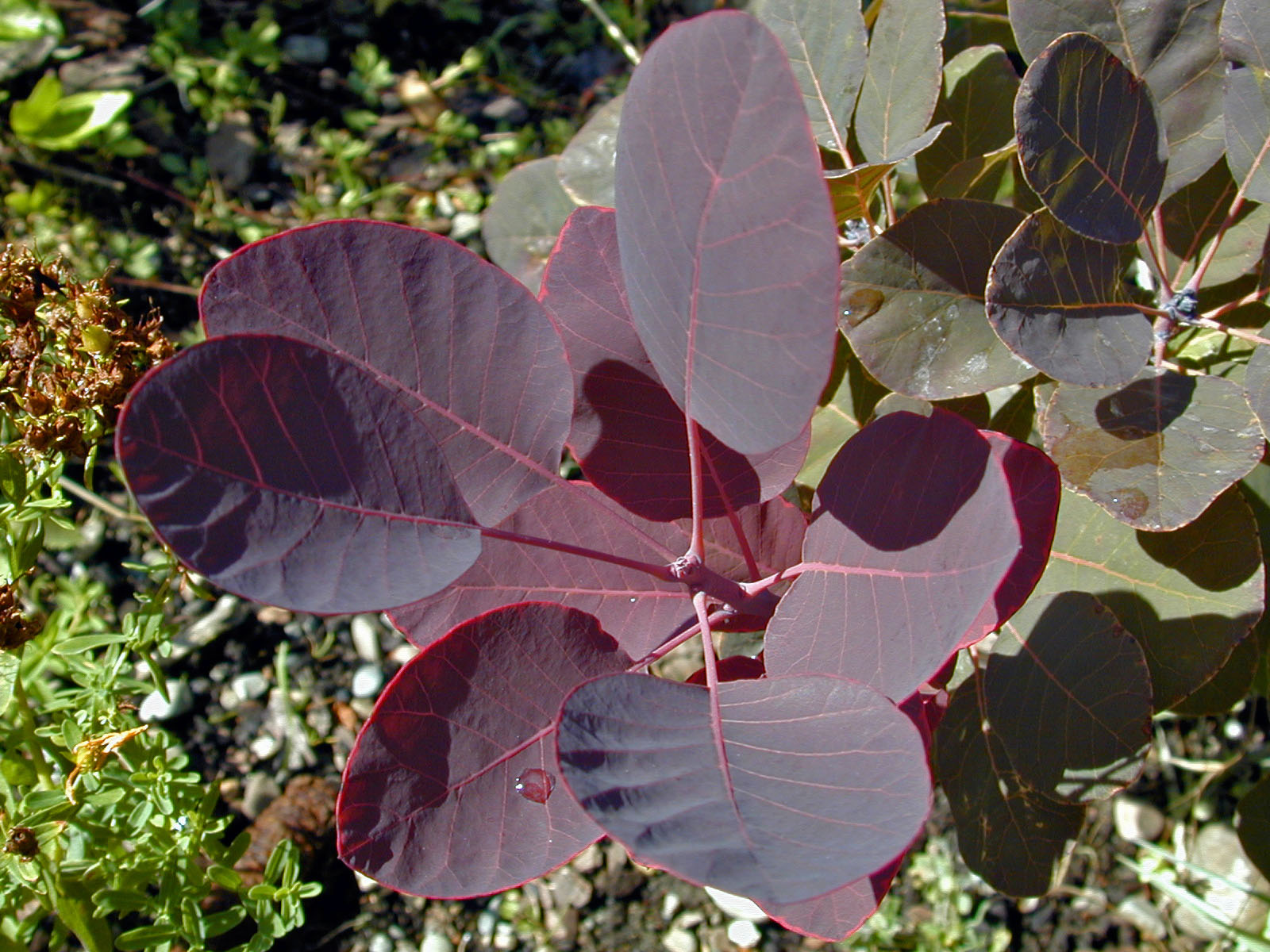 Trees of Santa Cruz County: Cotinus coggygria 'Royal ...