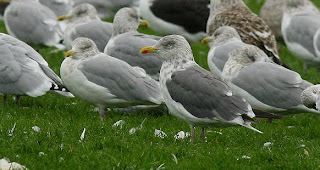 Lesser Black-backed Gull hybrid