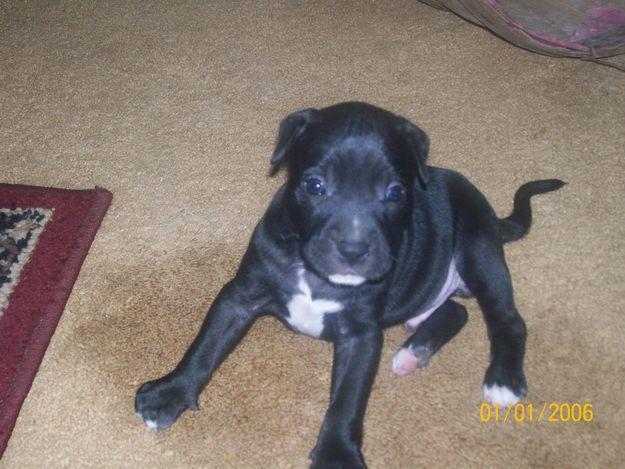 black and white pitbull terrierBlack And White Pitbull Dogs