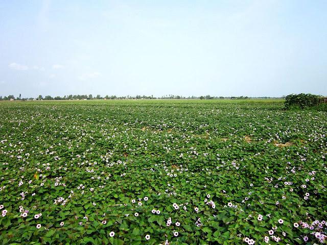 Hoa cây Khoai Lang - Ipomoea batatas - Nguyên liệu làm thuốc Nhuận Tràng và Tẩy