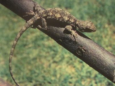 Lagarto arborícola chaqueño Urostrophus gallardoi