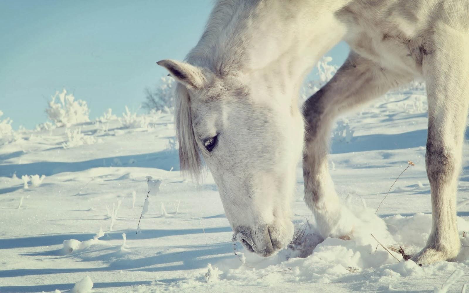 wallpaper met wit paard in de witte sneeuw