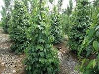 Mengulas Pengertian, Klasifikasi dan morfologi tanaman lada secara lengkap