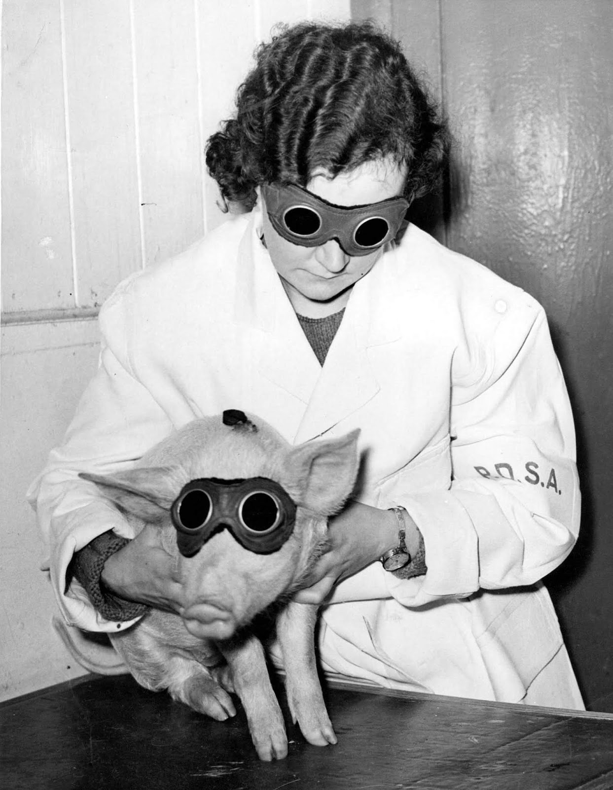 piglet which is being treated by the PDSA (People's Dispensary for Animals) in Ilford with a sun ray lamp, to cure a skin ailment. 1938.