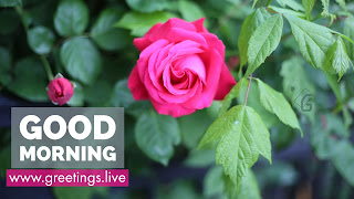Pink-Rose-Flower-Good-Morning-white-Text