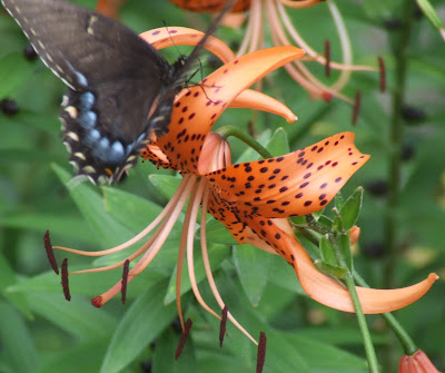 blue butterflies liliesjpg - photo #21