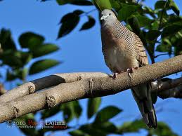 Cara Meningkatkan Kualitas panggung Burung Perkutut
