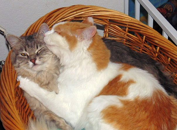 Melissa's Mochas, Mysteries and Meows: Maisie's Story: FIP Angel #BtC4A