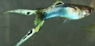Ikan Guppy Double sword Tail