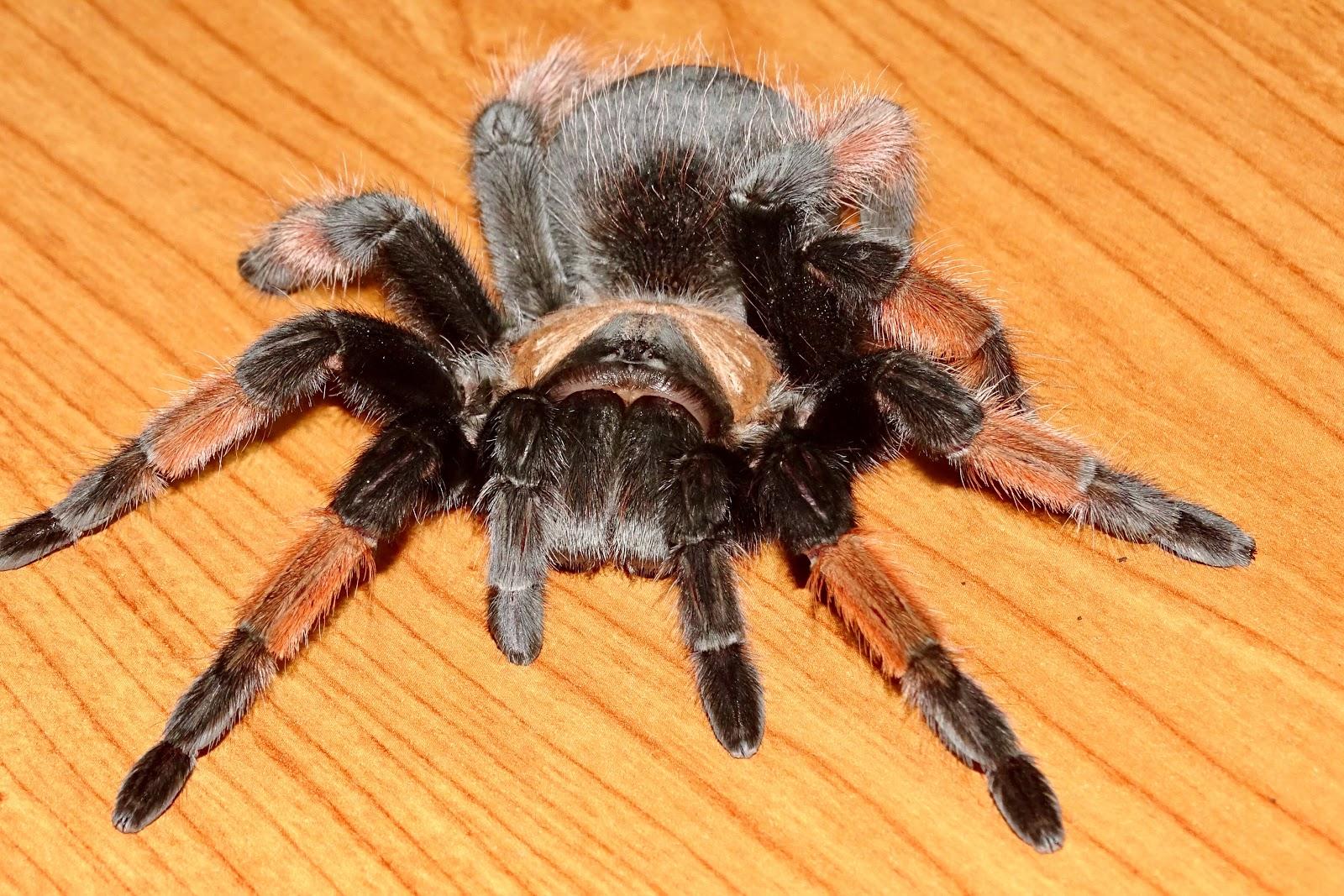 Theraphosidae biología y veneno de las tarántulas: GALERÍA DE FOTOS