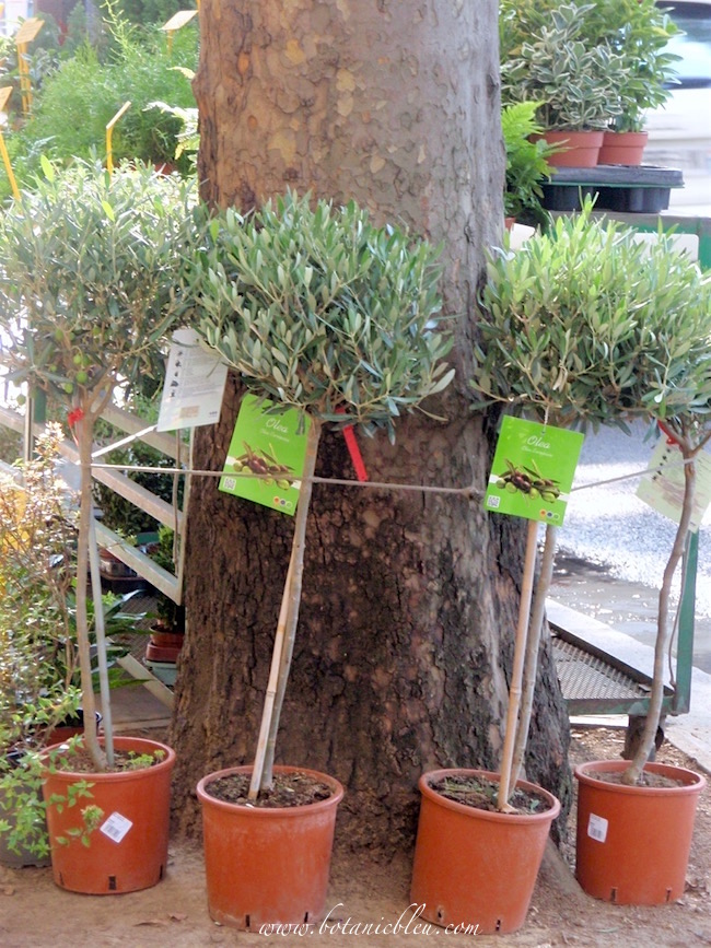 small-potted-olive-tree-topiaries-are-sold-in-paris-garden-stores