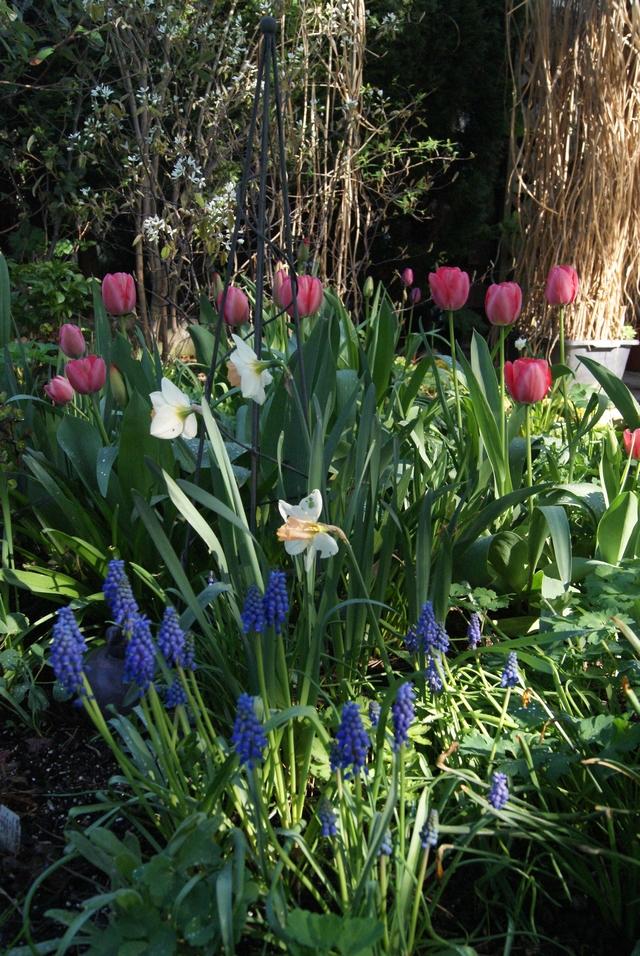 Darwin-Tulpen Pink Impression mit Muscari kombiniert
