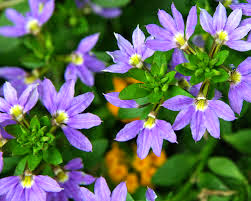 Scaevola-purple%2Bfanfare1.jpg