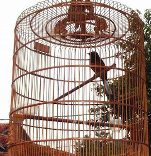 Tips penempatan sangkar agar burung berkicau dengan baik