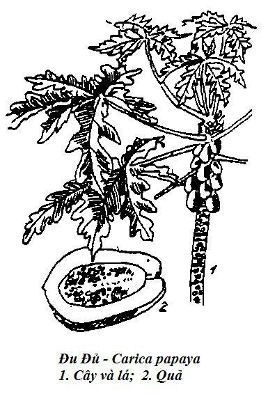 Hình vẽ Đu Đủ - Carica papaya - Nguyên liệu làm thuốc Chữa Bệnh Tiêu Hóa