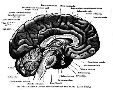 diagram of adhd brain diagram of inside of brain #12