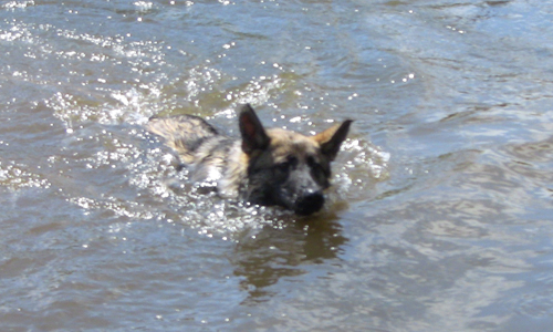 Dog swimming in a river on a sunny summers day