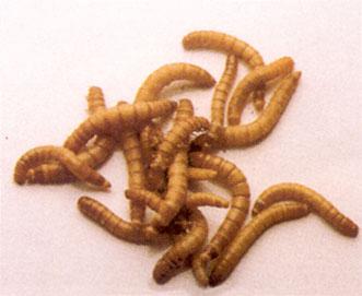 Come allevare i vermi della farina | Animali dal Mondo