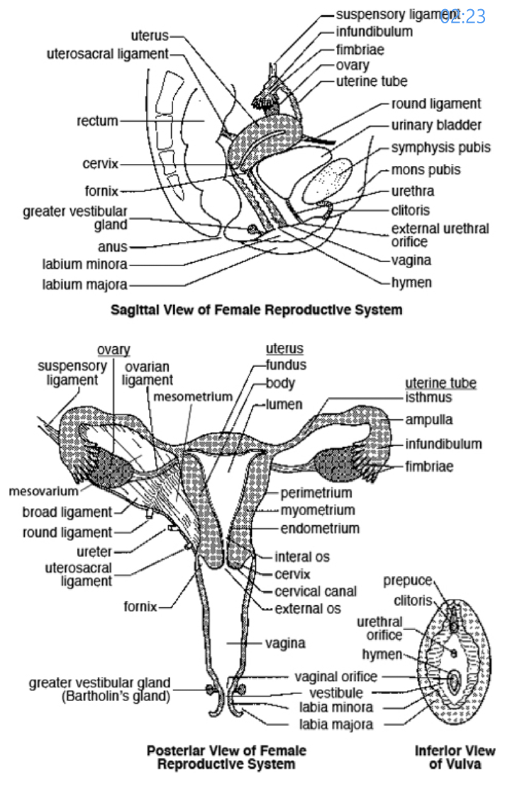 Structure of Female Reproductive System... | Human Anatomy and ...