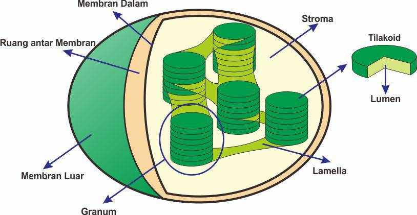 STRUKTUR DAN FUNGSI KLOROPLAS ~ BIOLOGY FOR EDUCATION