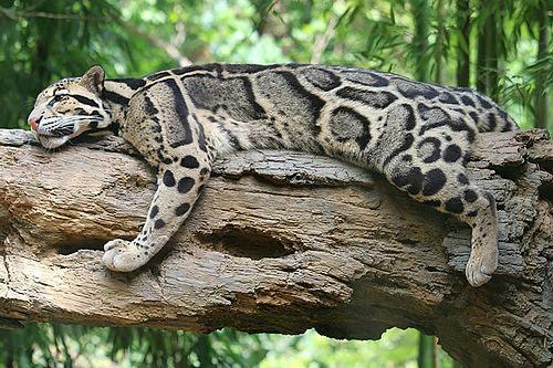 Resultado de imagem para leopardo nublado