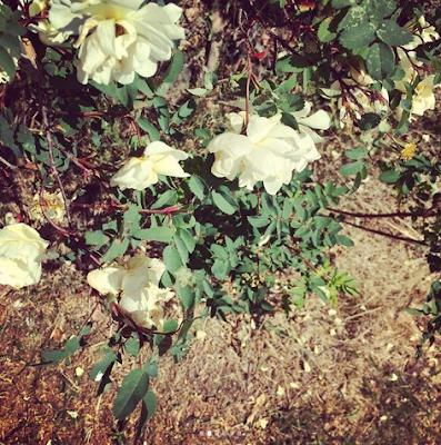 valkoinen juhannusruusu pudottelee lehtiä kuivuuttaan
