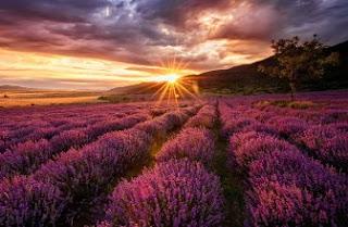 Foto Bunga Lavender Ungu yang Indah 6
