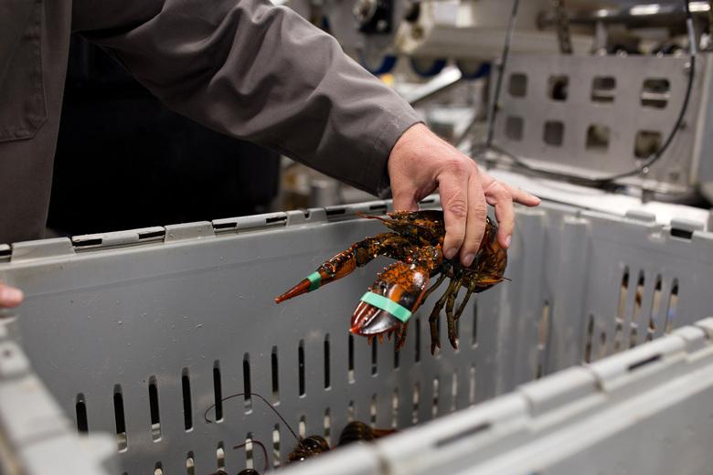Indonesia Lobster Supplier, Lobster Farming, Live lobster supplier