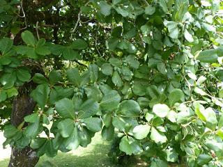 Badamier - Noix de badame - Terminalia catappa