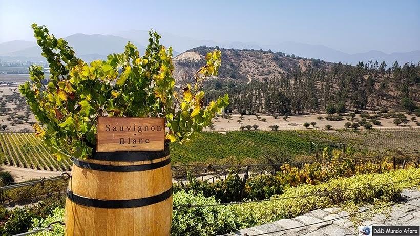 Uvas na Vinícola Indomita. Vinícolas chilenas: Valle Casablanca e Concha Y Toro.