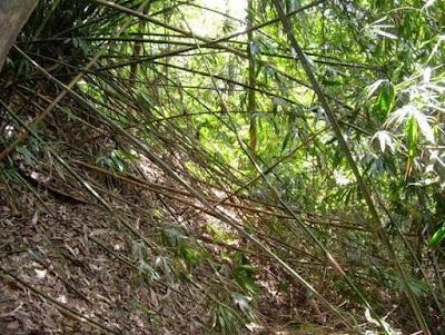 Bambu Tulup