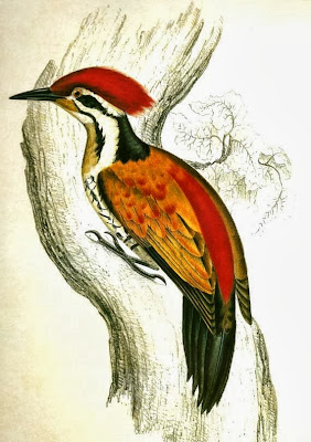 Common Flameback