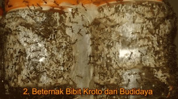 Beternak Bibit Kroto dari Budidaya