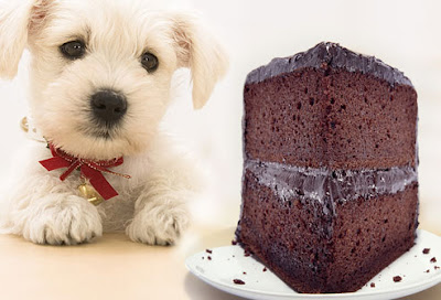White puppy looking at a slice of chocolate cake