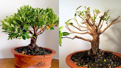 pre bonsai bonsai