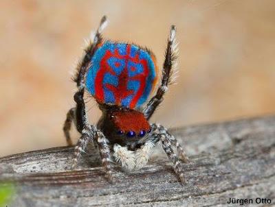 Aranha-pavão, maratus bubo, new-peacock-spider, bubo, spider, new spider, aranha, aranhas Austrália, austrália, novas espécies de aranhas da Austrália, natureza, conservação, blog Natureza e conservação, Jurgen Otto