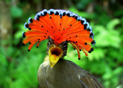 unseen animals Amazonian Royal Flycatcher