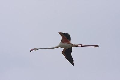 Flamenco volando