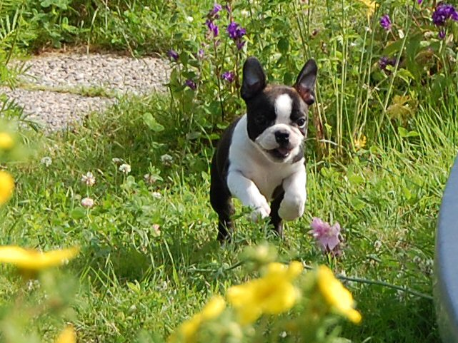 Cute Puppy Dogs Brown Boston Terrier Puppies