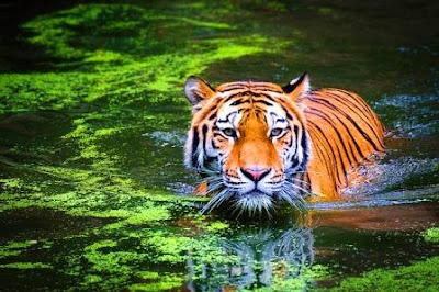 Tigers of Kaziranga national park, Assam