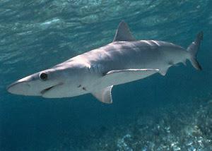 Animal Unique: Atlantic Sharpnose Shark