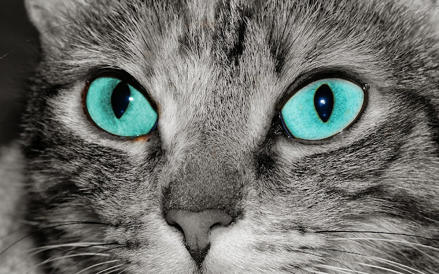 Wallpaper met close up foto grijze kat blauwe ogen