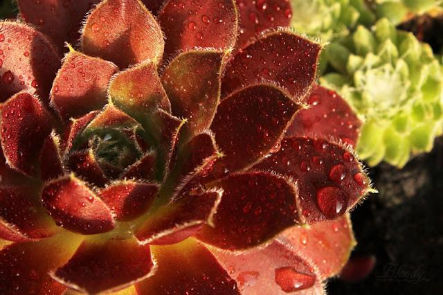 Roter Sukkulent Sempervivum mit Tropfen im Töpfchen