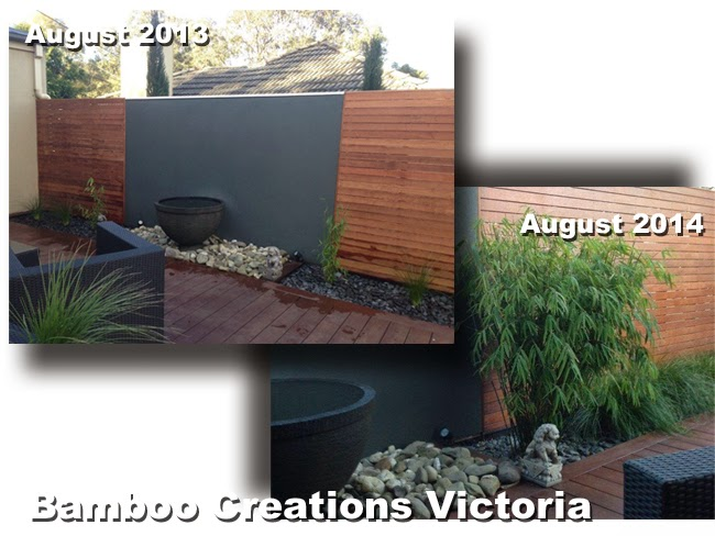 Bamboo Creations Victoria nursery nepalese blue bamboo 1 year apart. Planting progress photos of nepalese blue bamboo.
